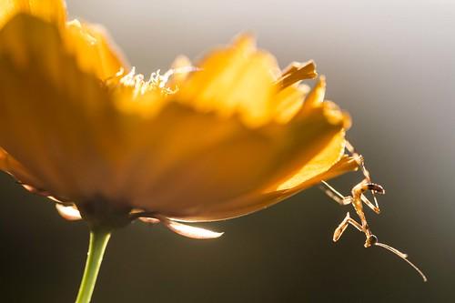 sunset flower sunshine yellow mantis insect small philippines praying mini cebu