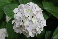 flower(1.0), hydrangea serrata(1.0), plant(1.0), lilac(1.0), petal(1.0),