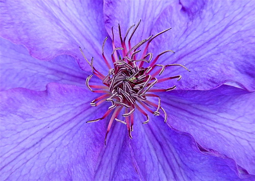 "Clematis ""The President"" ......(154/365) by Irene_A_"
