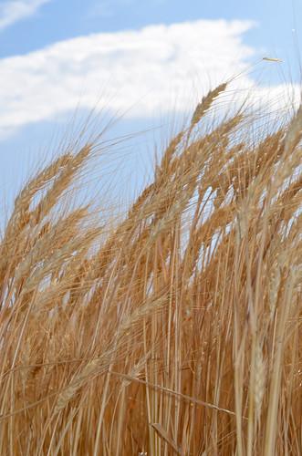 Texan wheat