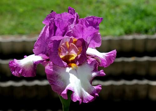 Nos Iris : floraisons 2012 8985923360_400bdd4f0b