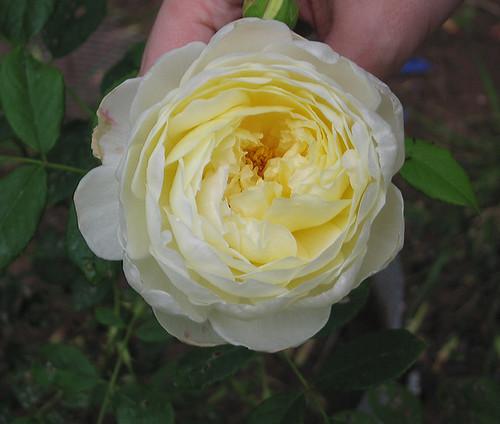 "David Austin English Rose ""Claire Austin."" by Leenechan"