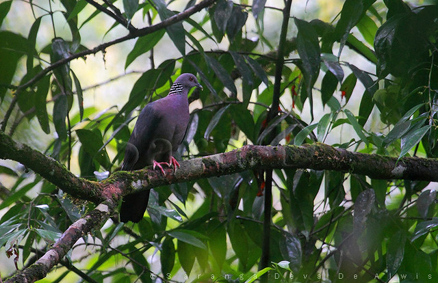 Birds of Sri Lanka , Species No 128