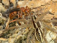 wasp(0.0), arthropod(1.0), animal(1.0), invertebrate(1.0), macro photography(1.0), membrane-winged insect(1.0), fauna(1.0), close-up(1.0), wolf spider(1.0), pest(1.0), wildlife(1.0),