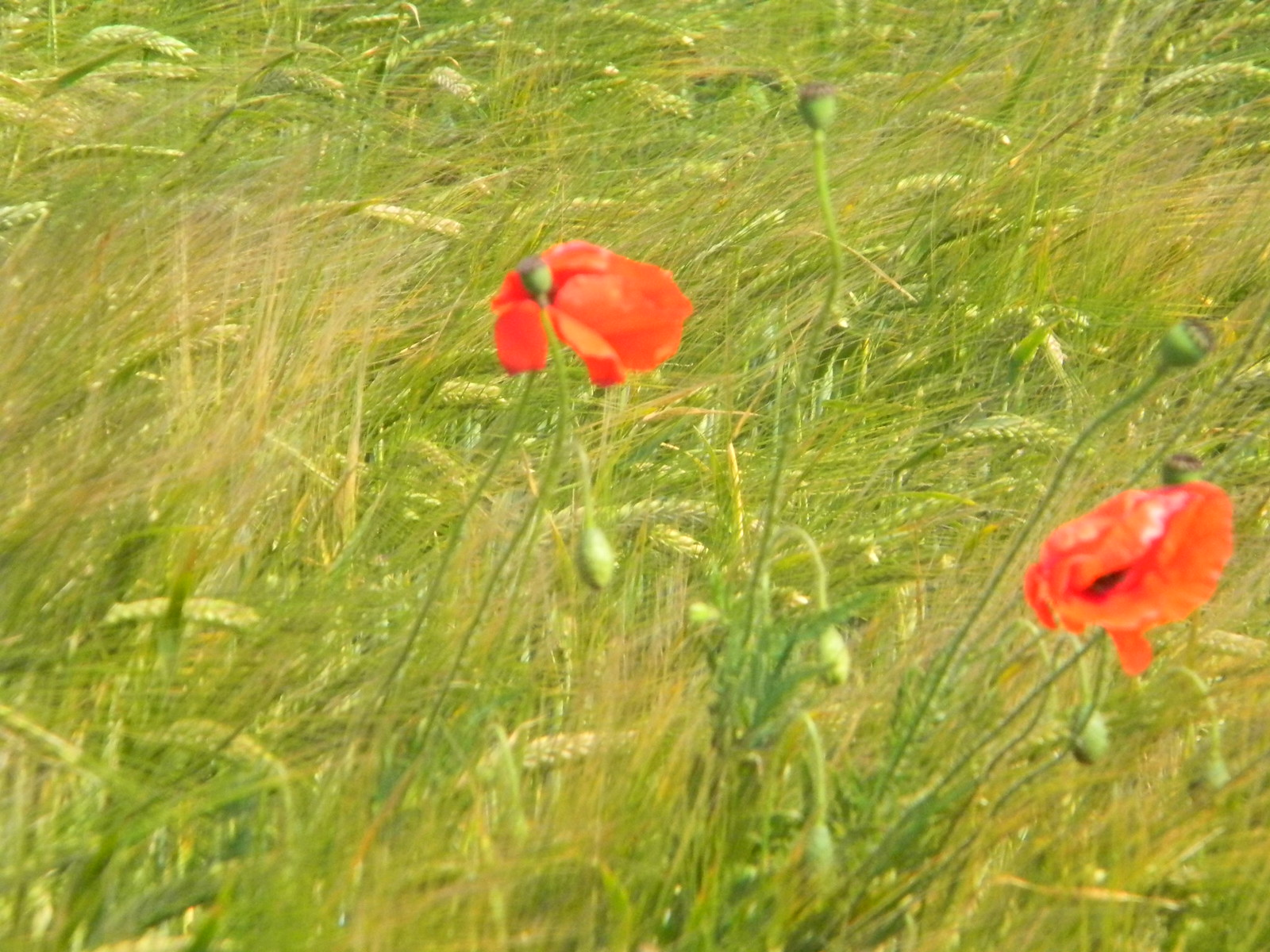 Poppies in Barley Lewes to Seaford (composite route)