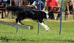 herding(0.0), conformation show(0.0), dog sports(1.0), animal sports(1.0), dog(1.0), sports(1.0), pet(1.0), mammal(1.0), dog agility(1.0),