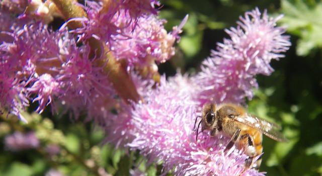 honey bee on astilbe in toronto