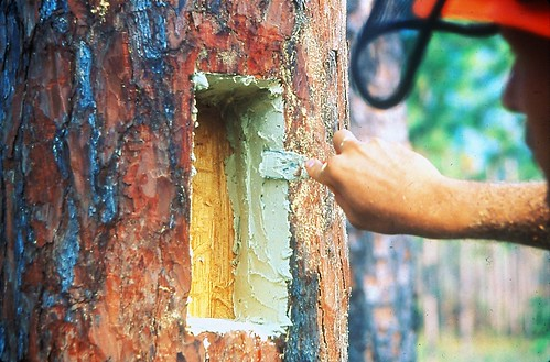 In April 2008, a crewmember on the Francis Marion National Forest prepares to install a wooden insert that will mimic the internal design of a natural nesting cavity. (Mark Danaher/U.S. Forest Service)