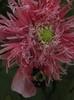 Papaver somniferum 'Pink Chiffon'