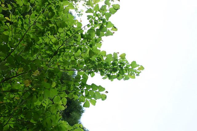オヒョウの木.