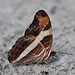 Small photo of Adelpha sp.
