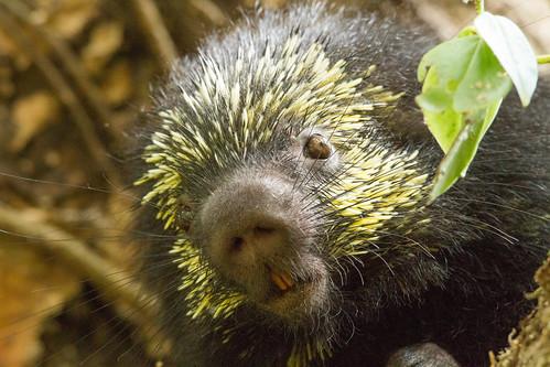 Mexican-hairy porcupine / puercoespín mexicano arborícola ...