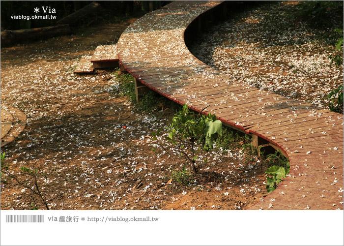 【彰化油桐花】福田桐花生態園區~雪白花毯!每年都會想再回訪的賞桐景點3