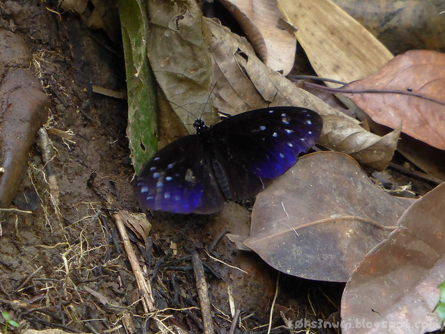21 Bukit Serumbu Toilets Male Euploea mulciber (Striped Blue Crow)