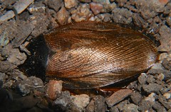 Cockroaches of Whitsunday Shire