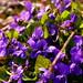 Purple flower family by Meastrology