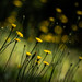 Hillside Wildflowers – Field Marigold (Calendula arvensis) by rhn3photo