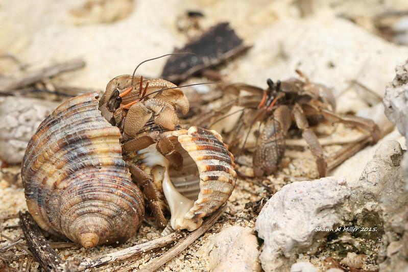 I want both shells (Coenobita cavipes)