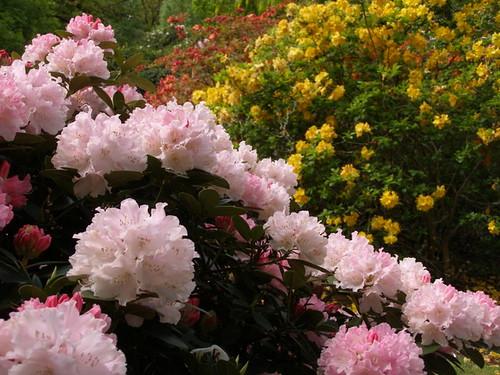 2015-05-19 American hybrid rhododendron in the American garden © Nigel Philpott