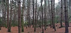 Bosque merideño