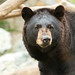 Small photo of Black Bear