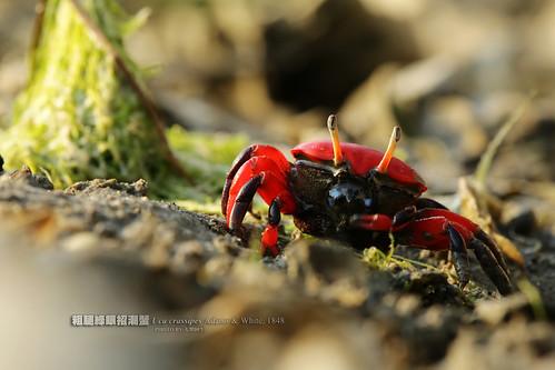 紅豆(粗腿綠眼)招潮蟹:引人注目的鮮豔紅色,總讓人在灘地上一眼就注意到。攝影:大型阿生。
