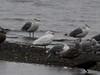 Leucistic gull. Presumed Glaucous-winged x Western Gull hybrid
