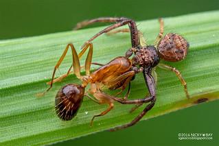Crab spider (Strigoplus sp.) - DSC_3879