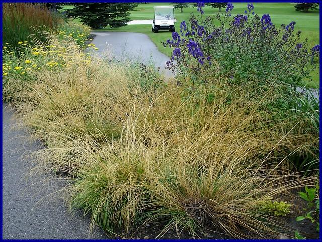 Perennial Grasses For Alberta : Ornamental grasses tufted hair grass flickr photo