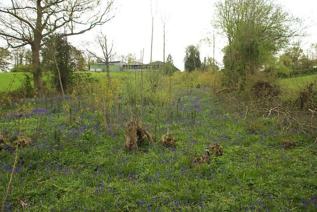 DSC_3959 bluebells