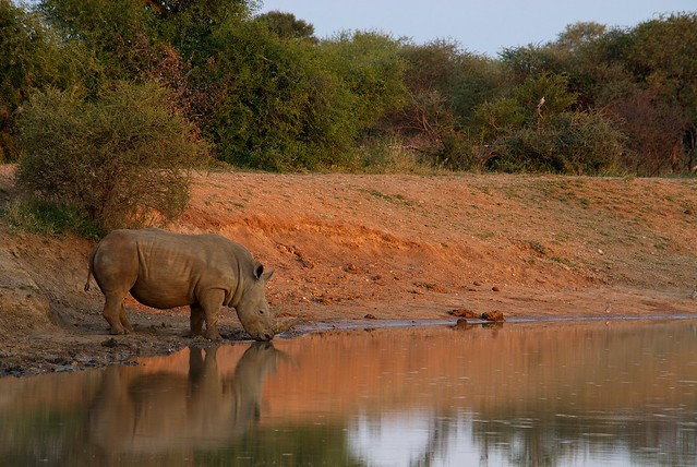 Rhino by Pond