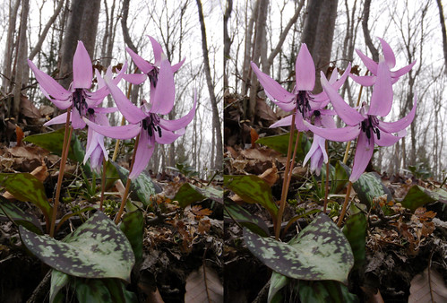 Erythronium japonicum, stereo parallel view