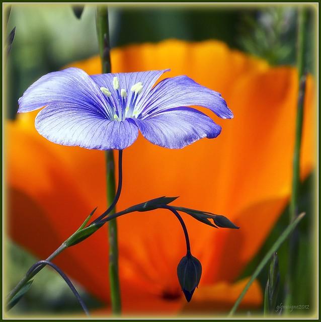 La fleur de lin.