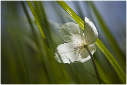 20120606. Wild anemone in wind. 0246. by Tiina Gill