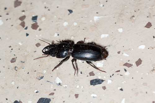 Big-headed ground beetle 1