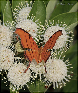 Ruddy Daggerwing on Buttonbush