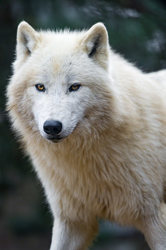 Nice and fluffy polar wolf by Tambako the Jaguar