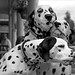 Three Dalmatians spotted. by Mashuga