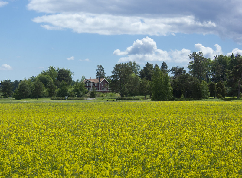 Canola Field in Bloom