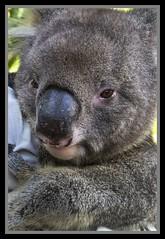 Koala at Australia Zoo-3=