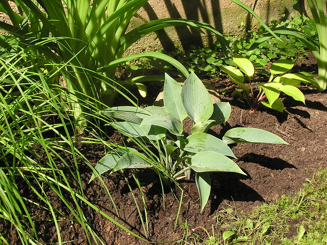 Hosta 'Halycon'