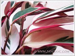 Stromanthe sanguinea 'Triostar with fabulous foliage colours'