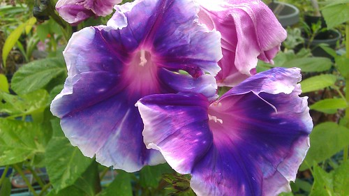 Ipomoea nil Emma's Emma's Blue Purple Flame 10259 by Gerris2