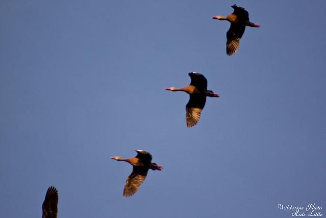 ducks14
