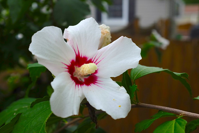 White Hibiscus: More beautiful than a dying hedge...