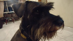 dog breed, animal, dog, schnoodle, pet, glen of imaal terrier, standard schnauzer, vulnerable native breeds, schnauzer, miniature schnauzer, carnivoran, scottish terrier, terrier,
