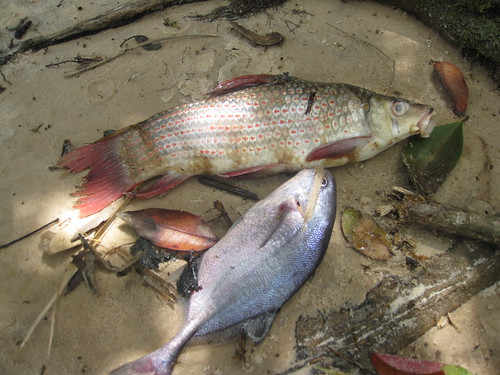 Fish from Lomami rapids traps copy