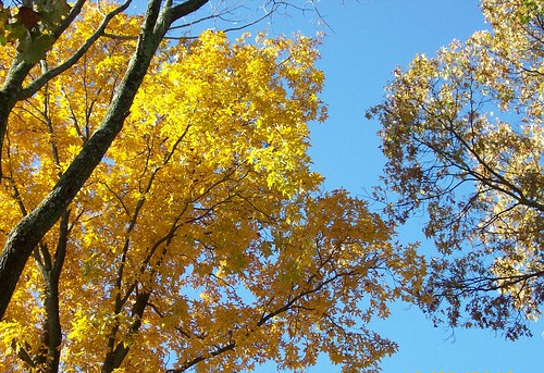 yellow maples and blue sky
