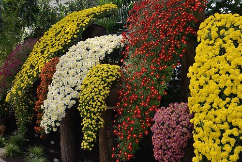 Cascading Chrysanthemums