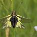 Libelloides coccajus ♀ by Sinkha63
